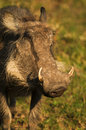 Free Warthog Stock Photos - 35953883