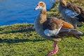 Free Egyptian Goose Stock Image - 35957691
