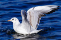 Free Seagull Landing In The Water Royalty Free Stock Photography - 35957747