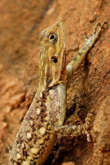 African Lizard Stock Photography