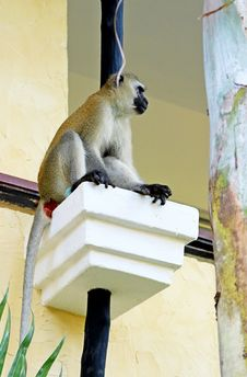 Free African Baboon On Hotels Balcony Stock Photos - 35950273