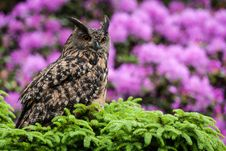 Free Eagle Owl Royalty Free Stock Image - 35951336