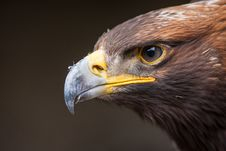 Free Portrait Of An Eagle Stock Images - 35951564