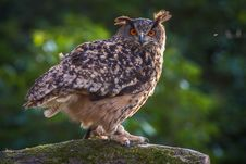 Free Eagle Owl Royalty Free Stock Images - 35951829