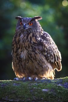 Free Eagle Owl Royalty Free Stock Photography - 35951967