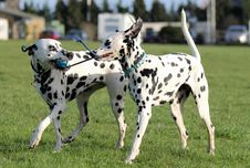 Two Dalmatians Playing Royalty Free Stock Photo