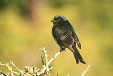 Free Fork-tailed Drongo Stock Photo - 35953610
