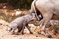 Baby Warthog Suckling Stock Photos