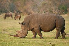 Free Rhinoceros Royalty Free Stock Photos - 35953818