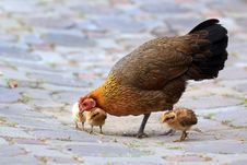 Free Hen And Her Chicks Royalty Free Stock Image - 35957236