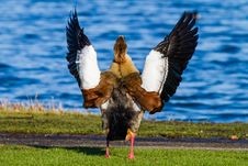 Free Egyptian Goose Royalty Free Stock Photography - 35957547