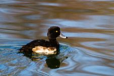 A Tufted Duck Royalty Free Stock Photos