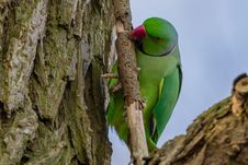 Free A Rose-ringed Parakeet. Royalty Free Stock Images - 35957749