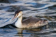 Free Crested Grebe Stock Image - 35957751