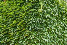 Free Wall Of A House With Covered With Ivy Stock Photography - 35961032