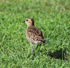 Free Kolea, Pacific Golden Plover Stock Photography - 35962262