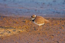 Free Little Ringed Plover &x28;Charadrius Dubius&x29;. Royalty Free Stock Photo - 35967605