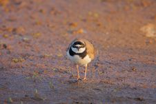 Free Little Ringed Plover &x28;Charadrius Dubius&x29;. Stock Photography - 35967622