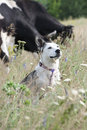 Free Mixed Breed White Dog & Cows Stock Images - 35978404