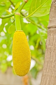 Free Jack Fruit Royalty Free Stock Image - 35972176