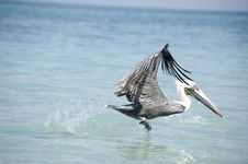 Bird Taking Off In The Sea Stock Photo