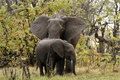 Free African Elephant Family Royalty Free Stock Photography - 35986707