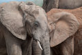 Free Two Elephants Look Like One Royalty Free Stock Photography - 35987077
