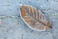 Free Dry Leaf In Winter Stock Photos - 35989313