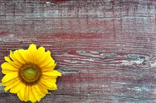 Free Sunflower Royalty Free Stock Photography - 35980857