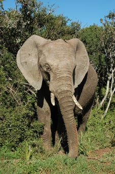 Grey African Elephant Royalty Free Stock Images