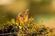 Free Curious Mousebirds Stock Photo - 35986810