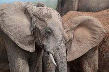 Two Elephants Look Like One Royalty Free Stock Photography