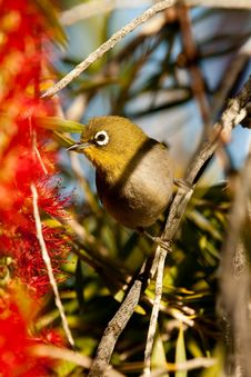 Free Cape White-eye Stock Images - 35987344