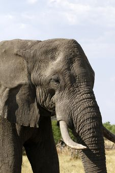 Free African Elephant Close Encounter II Stock Image - 35987461