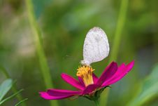 Psyche Butterfly Stock Photo
