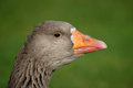 Free Goose Greylag Stock Photos - 35999513