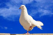 Free White Dove On A Background Of Blue Sky Stock Images - 35999084