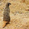 Free Meerkat Royalty Free Stock Photography - 360067