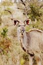 Free Kudu, South Africa Stock Photography - 367102