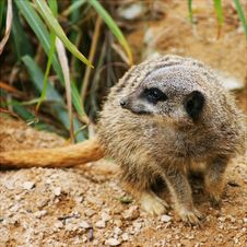 Free Meerkat Royalty Free Stock Photos - 360078