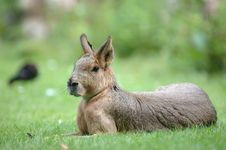 Free Pampas Hare Royalty Free Stock Images - 360609