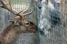 Free Reindeer In Love Stock Photos - 362023