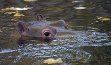 Free Hippopotamus1 Stock Photos - 362443