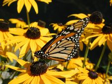 Free Butterfly Stock Image - 363161