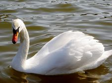 Free Swan On A Lake Stock Photography - 363572