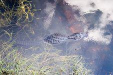 Free Medium Sized Alligator Stock Photography - 364362