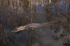 Free Alligator Everglades Stock Photos - 364363