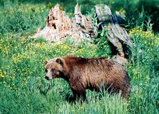 Free Grizzly Bear Royalty Free Stock Image - 364566
