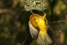 Free Yellow Bird Stock Images - 365224