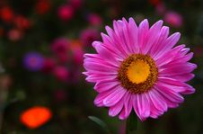 Free Autum Pink Flower Royalty Free Stock Photo - 365235